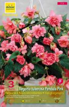 Begonias pendulas roses