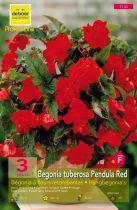 Begonias pendulas rouges