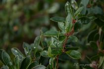 Berberis buxifolia \'Nana\'