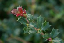 Berberis darwini \' Nana \', petit arbuste nain au feuillage persistant vert et à la floraison orangé au printemps.