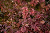 Berberis thunbergii \'Admiration\'