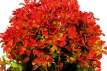 Berberis thunbergii \'Ruby Star\'