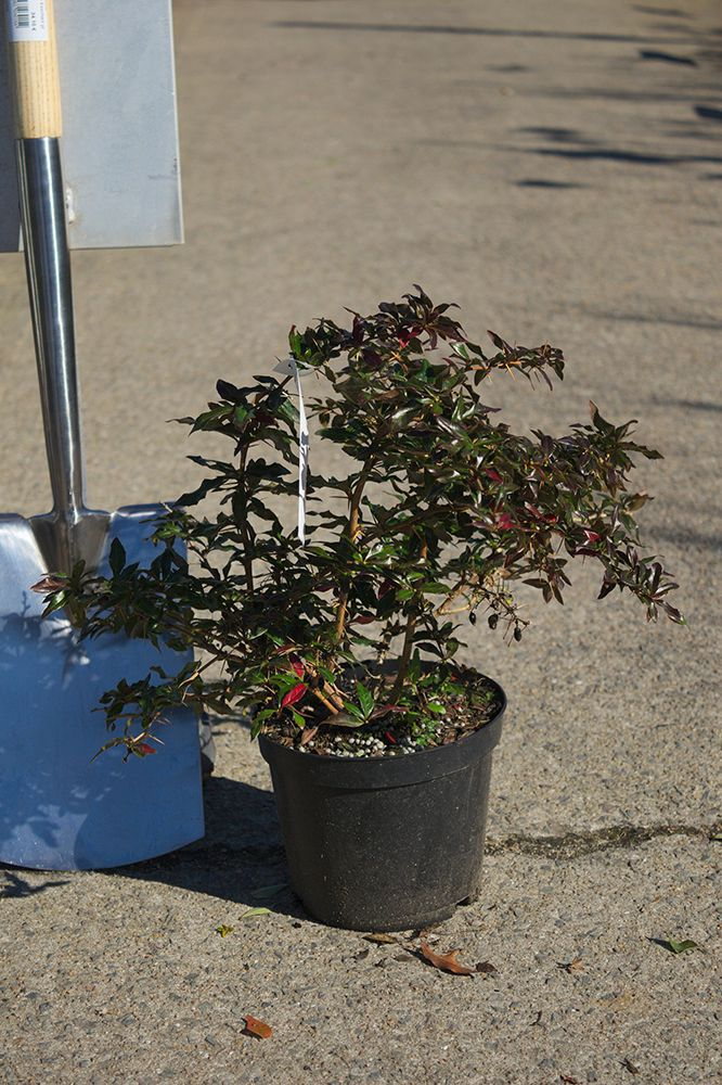 Berberis x hybrido-gagnepainii \'Chenaultii\'