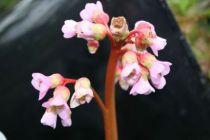 Bergenia cordifolia \'Baby Doll\'