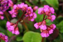 Bergenia cordifolia \'Eroica\'