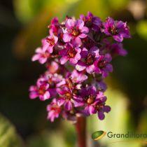 Bergenia cordifolia \'rose\'