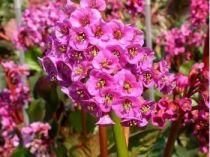 Bergenia cordifolia \'Rotblum\'