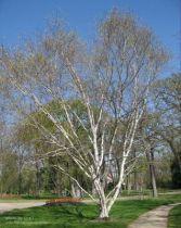Betula jacquemontii, arbre au feuillage caduc vert et jaune en automne et à l\'écorce blanc sur le bois plus jeune.