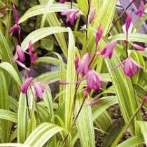 Bletilla striata \'Purple Variegata\'