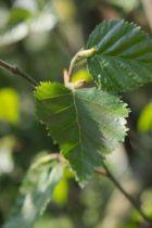 IMG_6041, arbre aux feuillage caduc vert foncé passant au jaune en automne. Tronc et grosses branches devenant blanc en viellissant.