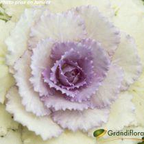 Brassica - Chou ornemental Hiver