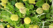 Brède mafane - Spilanthes oleracea