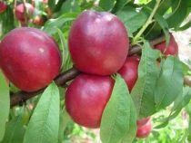 Brugnonier \'Morton\', arbre fruitier caduc à feuille verte et aux fruits rouge en été.