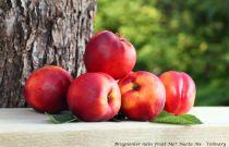 Brugnonier nain Fruit Me® Necta Me - Prunus persica