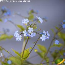Brunnera macrophylla \'Alexander\'s Great\' ®