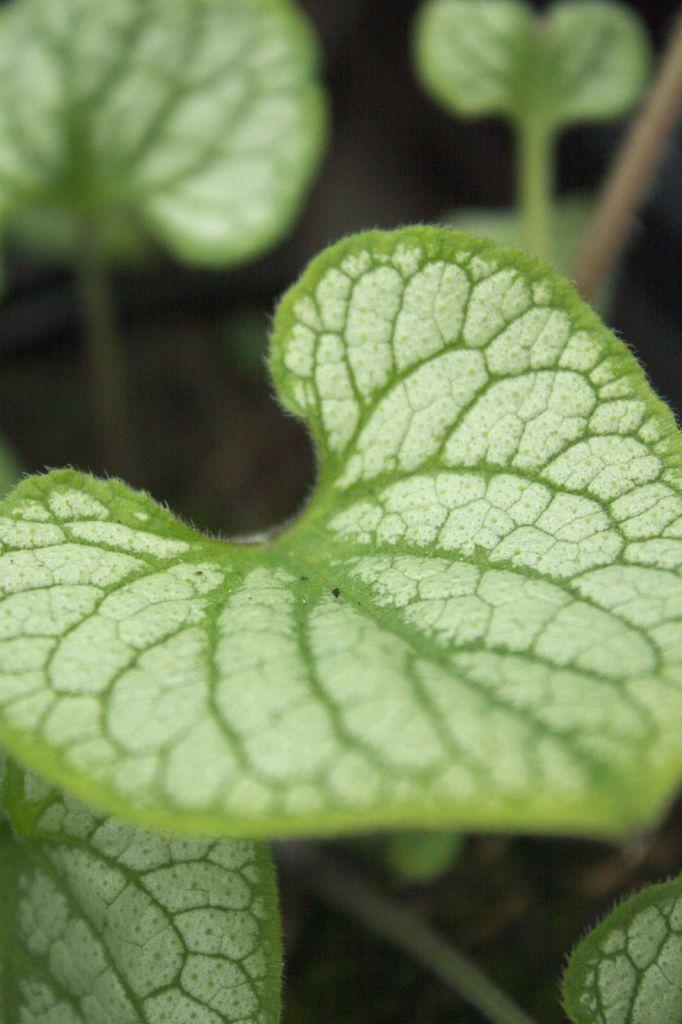 Brunnera macrophylla \'Jack Frost\', vivace au feuillage caduc vert argenté veiné de vert et aux fleurs bleu au printemps.