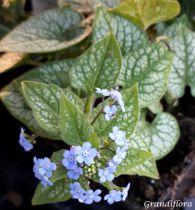 Brunnera macrophylla \'Jack Frost\'
