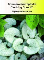 Brunnera macrophylla \'Looking Glass\'