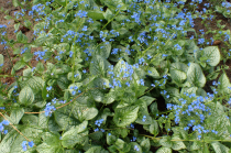 Brunnera macrophylla \'Sea Heart\'®