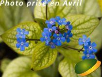 Brunnera macrophylla \'Silver Heart\' ®