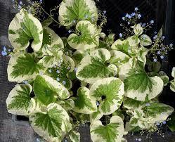 Brunnera macrophylla \'Variegata\'