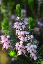 Bruyère arbustive \'Mediterranea\' pink