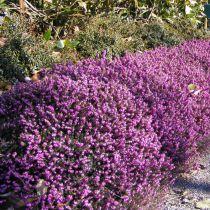 BRUYERE Erica arbustive multiflora pink