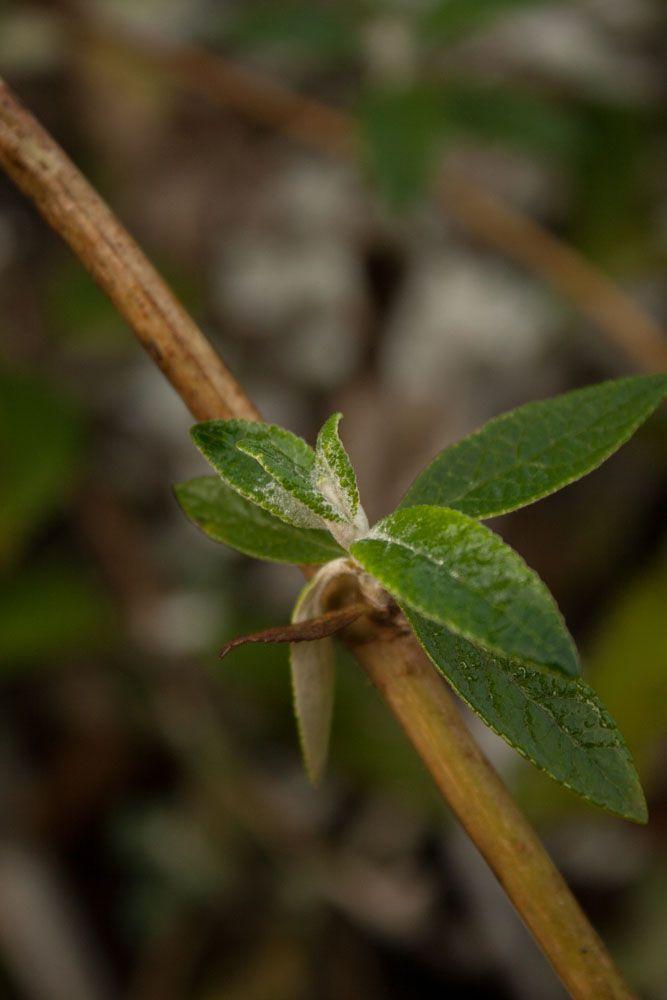 Buddleia weyeriana \'Sungold\'