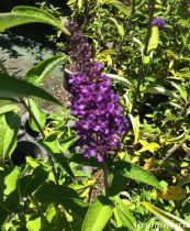 Buddleja \'Empire Blue\'