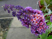 Buddleja \'Flower Power\'