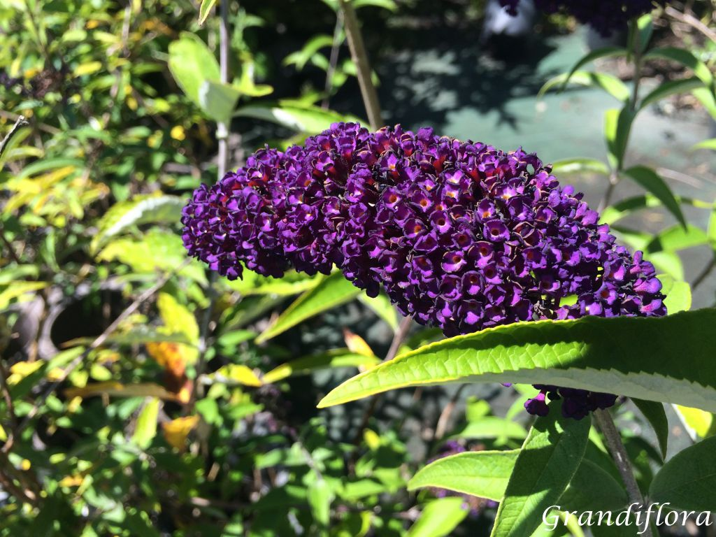 Buddleja davidii \'Black Night\'
