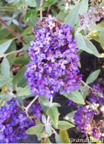 Buddleja davidii Buzz \'Midnight\'