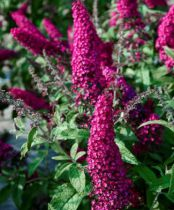 Buddleja davidii couleur Lie de Vin