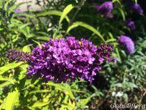 Buddleja davidii purple emperor \'Pyrkeep\'