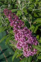 Buddleja lochinch, arbuste à floraison en épis bleu ciel de juillet à octobre pour massif ou haie de plein soleil.