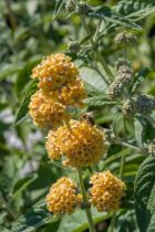 Buddleja Sungold ou arbre à papillons sungold à fleurs en panicules jaunes tout l\'été.