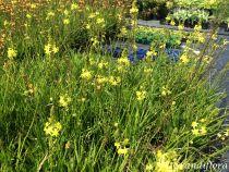 Bulbine frutescens jaune
