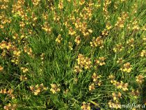Bulbine frutescens orange