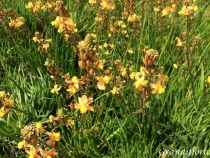 Bulbine frutescens orange