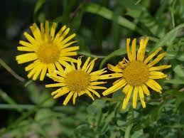 Buphtalmum salicifolium Jaune