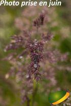 Calamagrostis acutiflora \'Karl Foerster\'