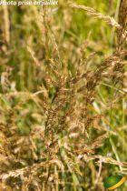 Calamagrostis acutiflora \'Overdam\'