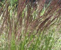 Calamagrostis varia