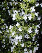 Calamintha nepeta \'White Cloud\'