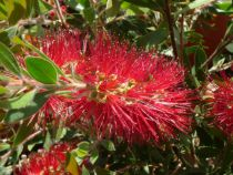 Callistemon masotti \'Mini red\'