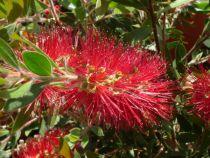 Callistemon masotti \'Mini red\'