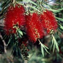 Callistemon viminalis \'Captain Cook\'