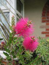 Callistemon viminalis \'Hot pink\'
