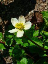 Caltha palustris \'Alba\'