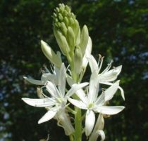 camassia-leichtlinii-alba
